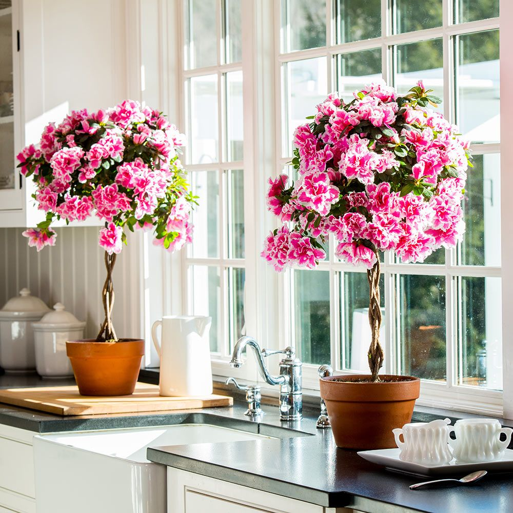 Азалия в интерьере кухни