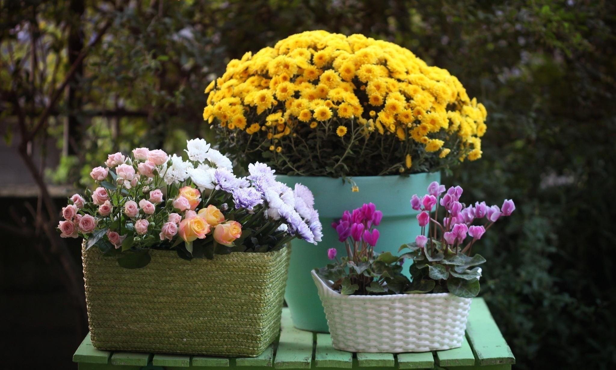 Домашняя хризантема