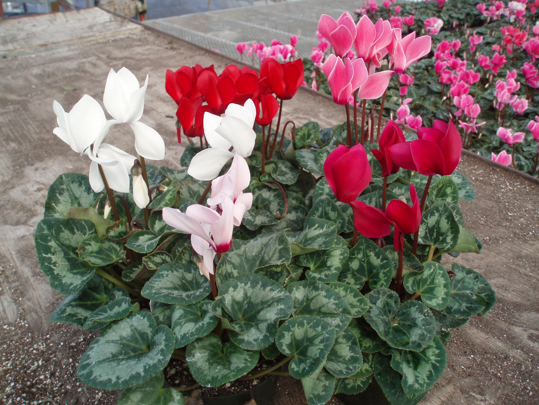 Цикламен садовый