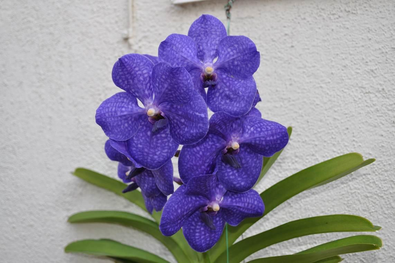 Орхидея Ванда на балконе