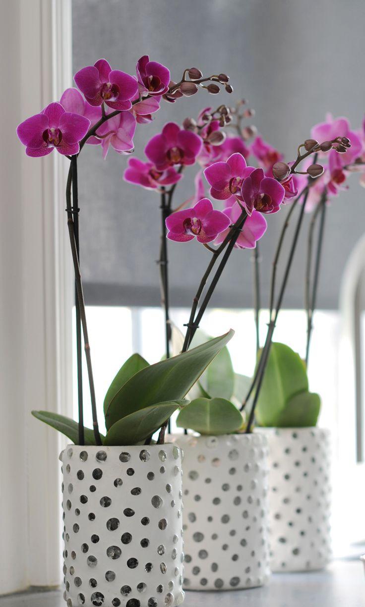 Орхидея Ванда в декоративном горшке