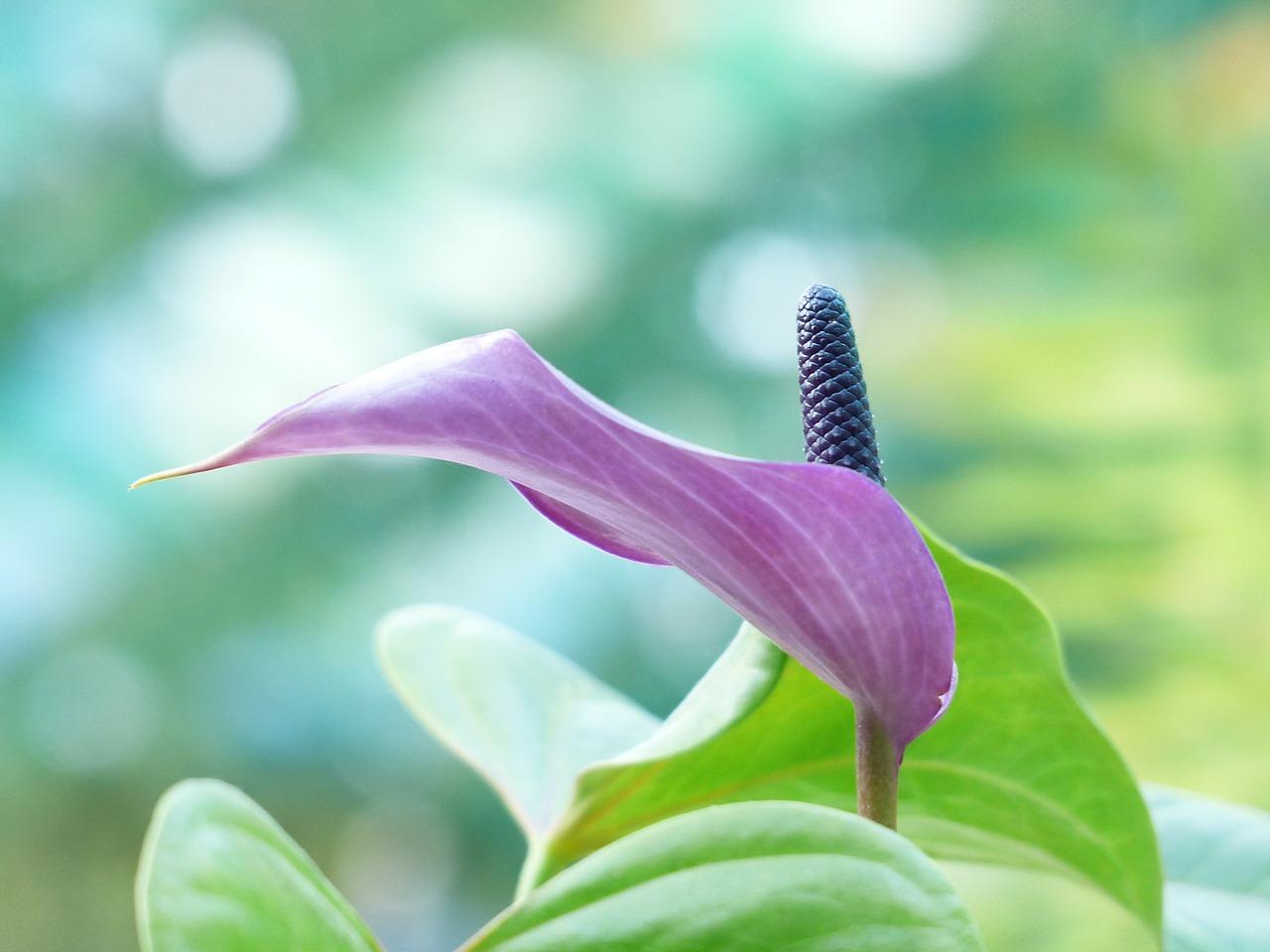 Спатифиллум фиолетовый