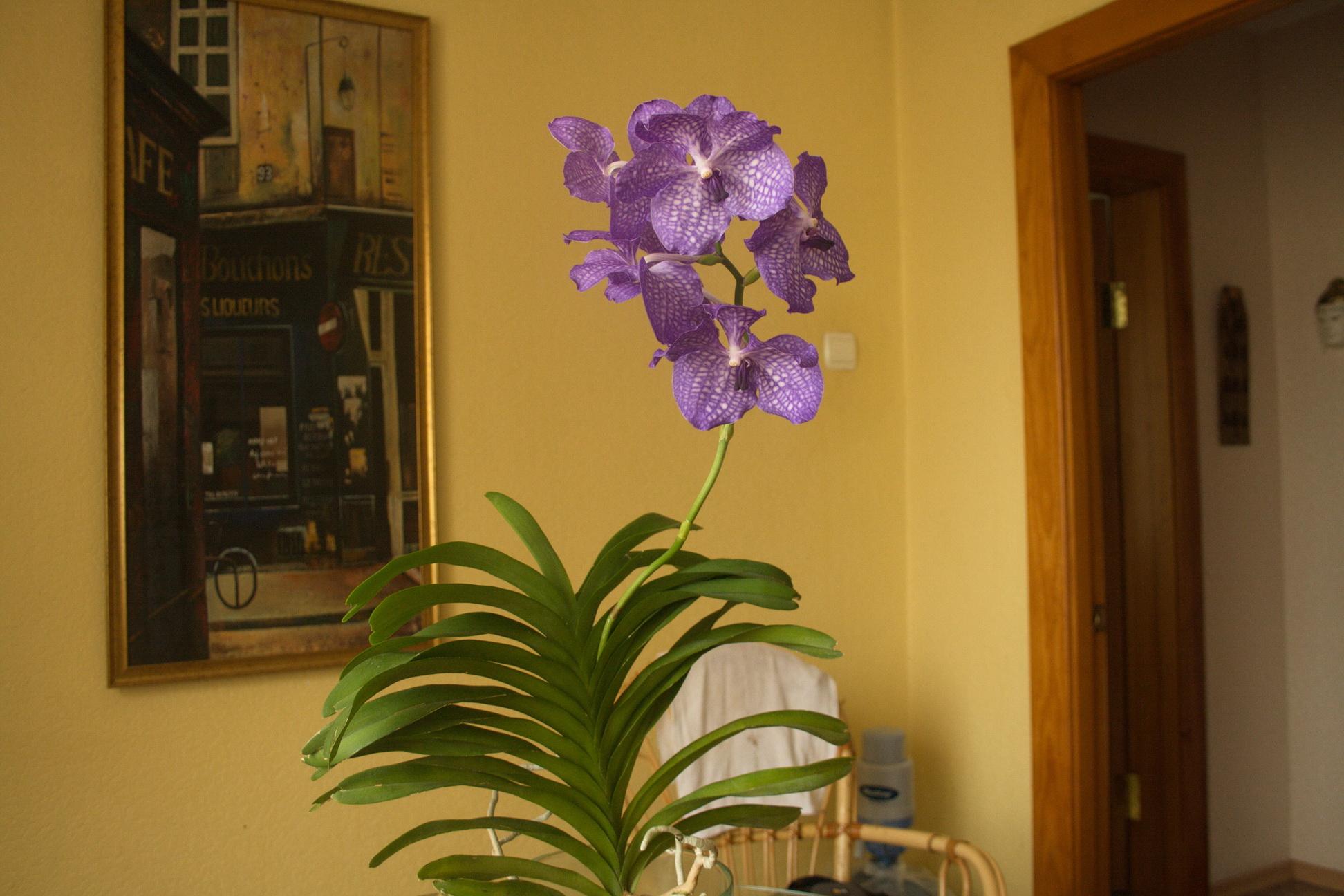 Орхидея Ванда в интерьере квартиры