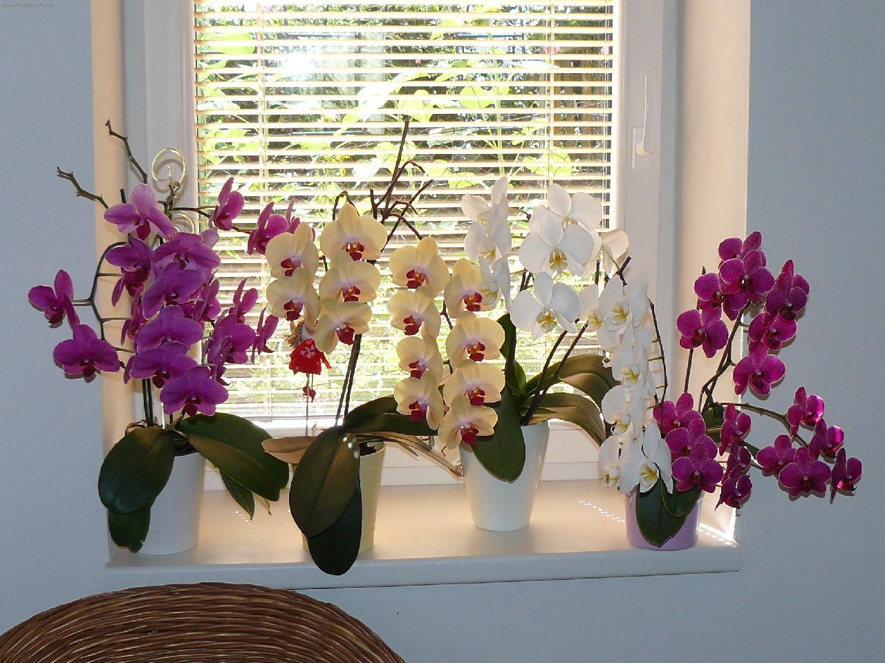 Орхидея Ванда на окне