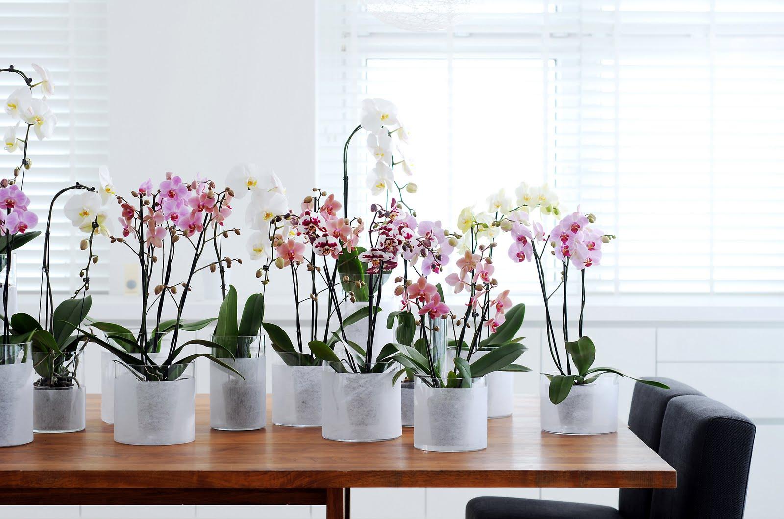 Фаленопсис домашний: тропический цветок в условиях города (24 фото)