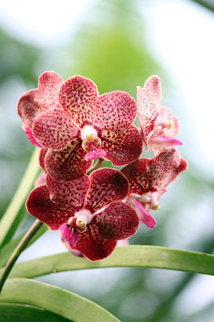 Розовая орхидея Ванда