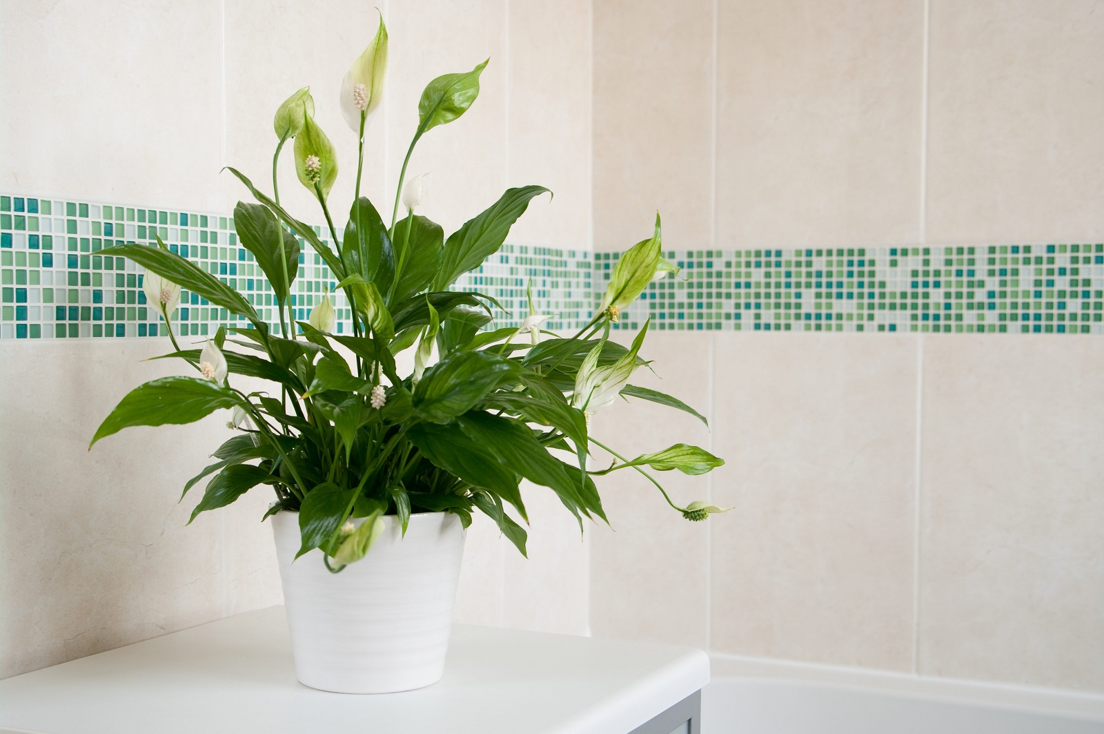 Спатифиллум в ванной