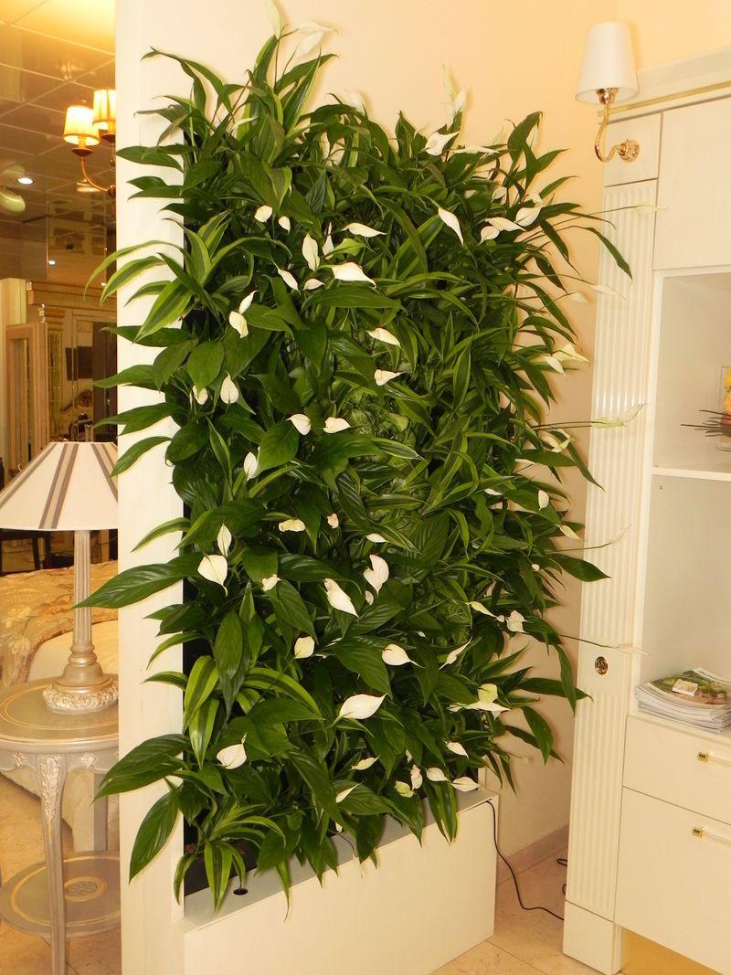 Спатифиллум в вертикальном озеленении