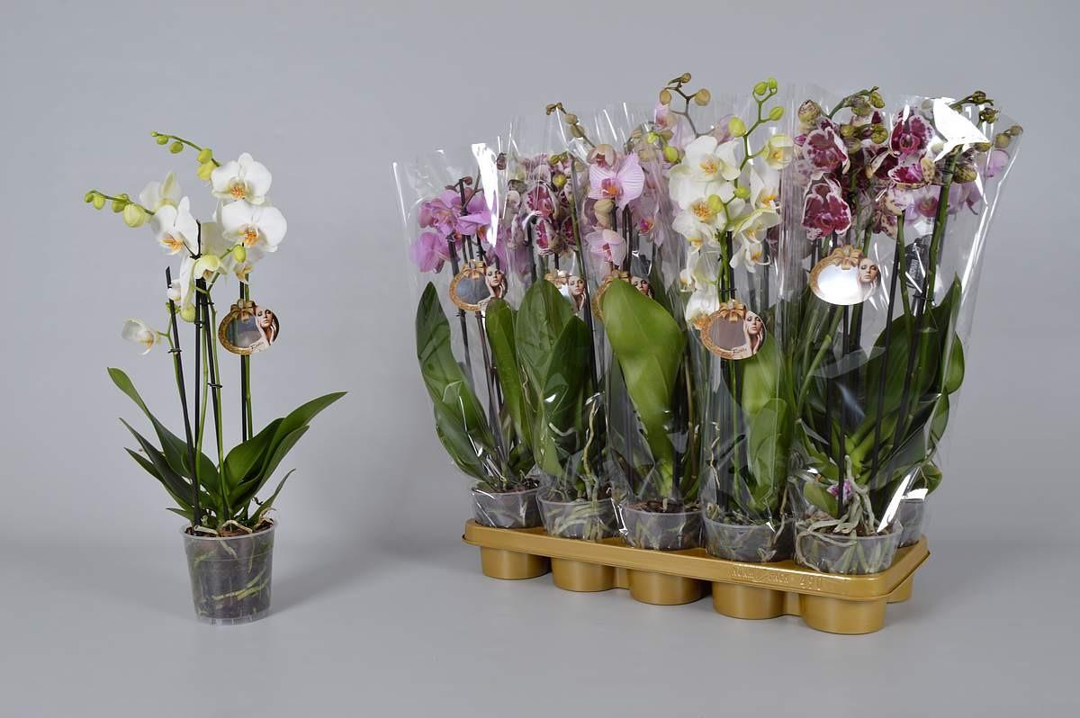 Выращивание орхидеи Ванды