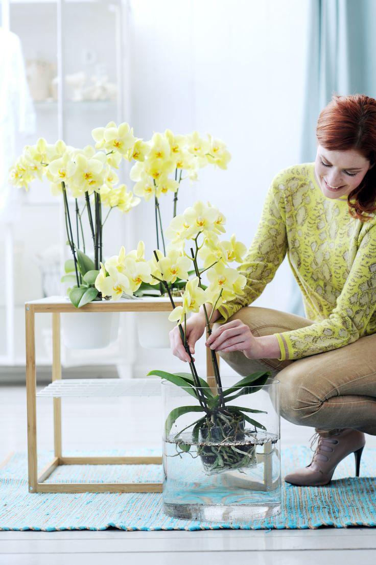 Желтая орхидея Ванда