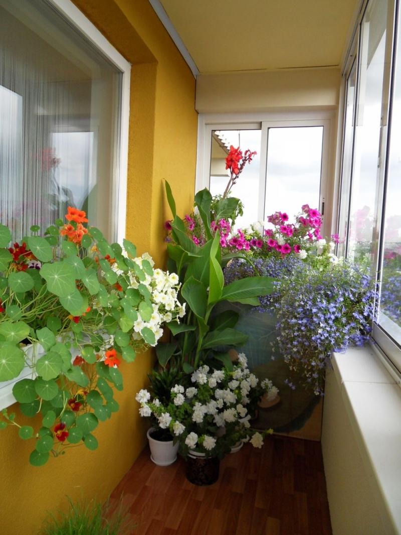 Лобелия на балконе