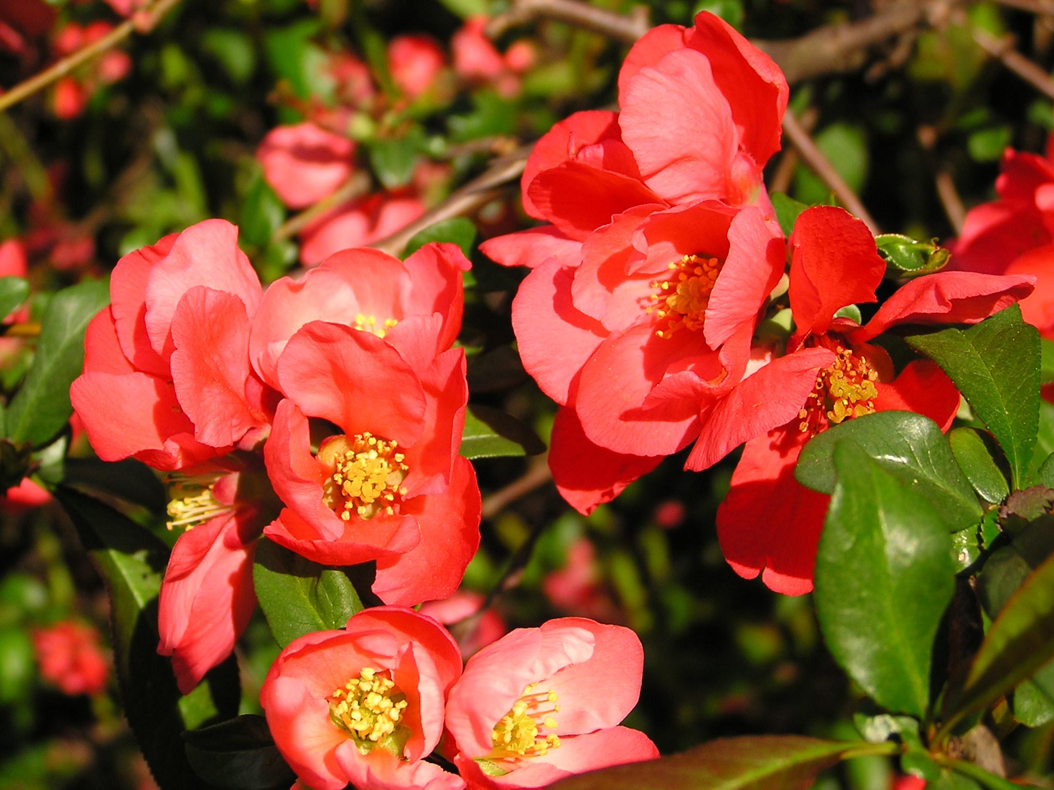 Цветы японской айвы