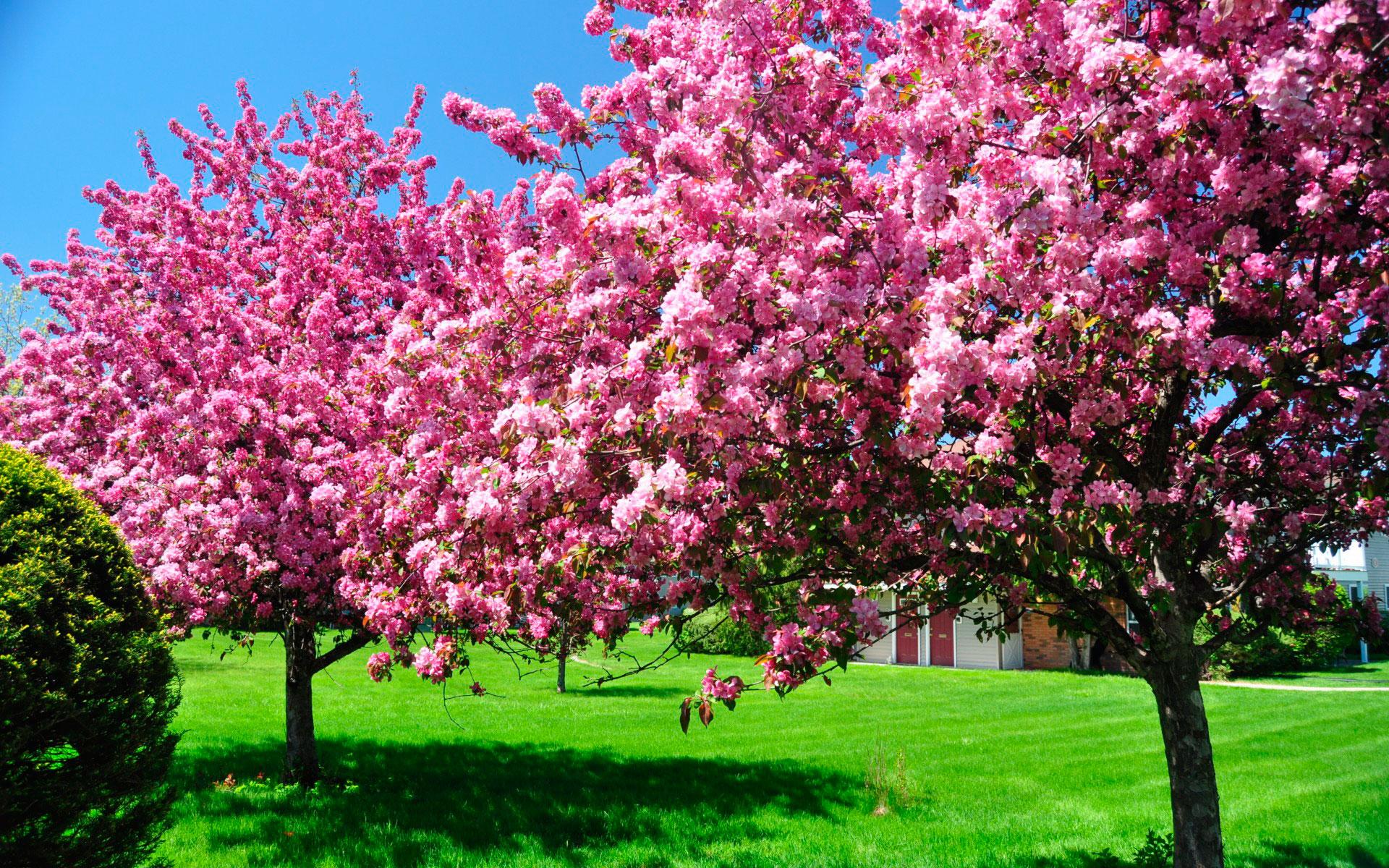 Цветущие деревья для сада