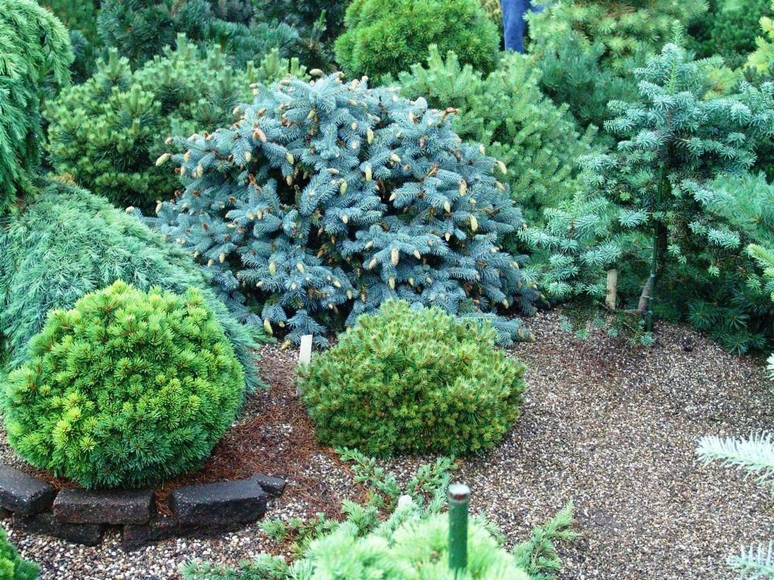 Декор сада вечнозелеными растениями