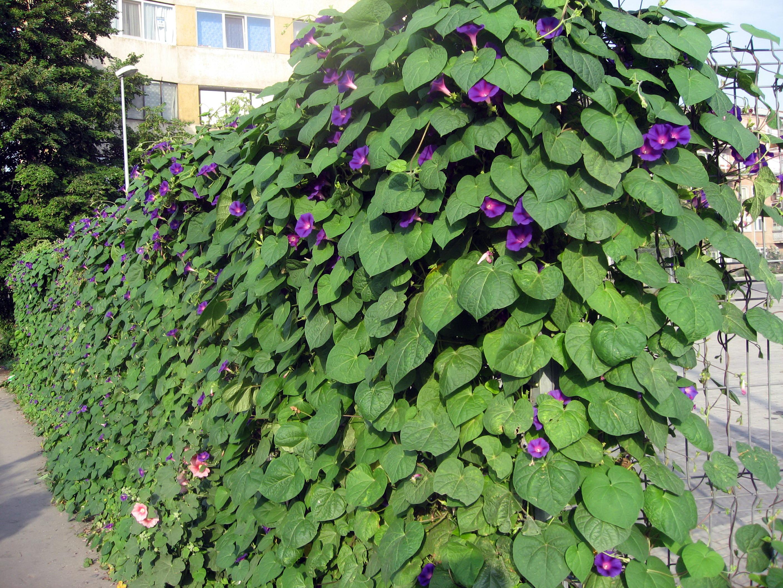 Декоративная лиана в саду