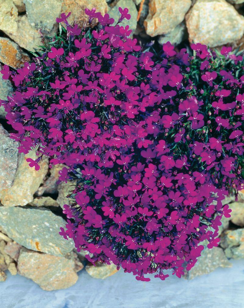 Фиолетовая лобелия
