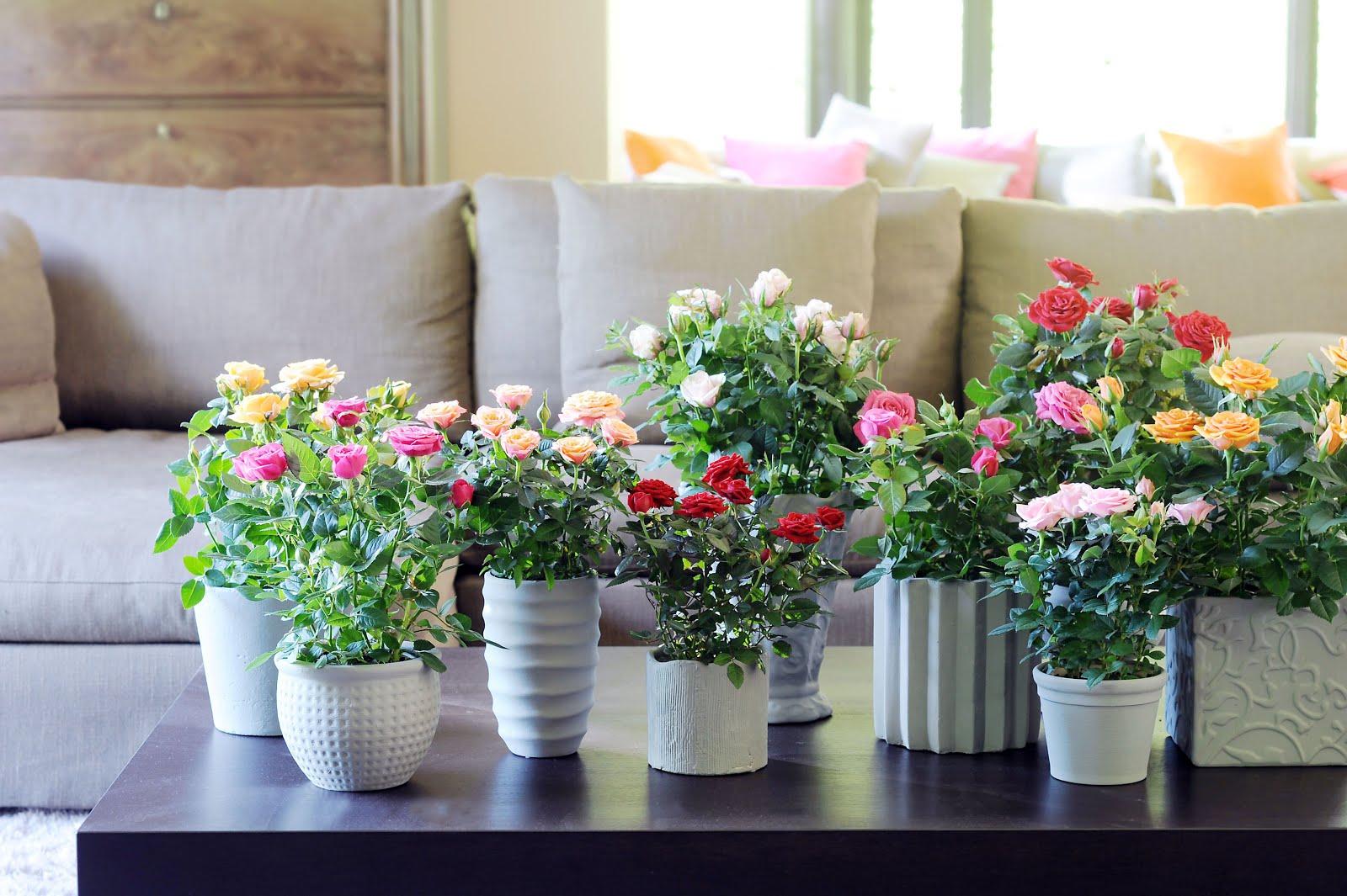 Комнатная роза в гостиной