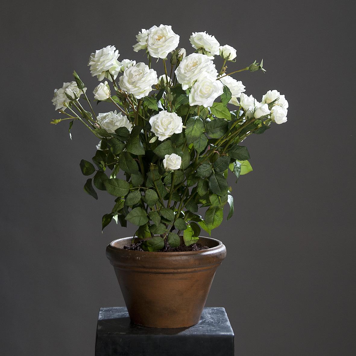 Комнатная роза в керамическом горшке