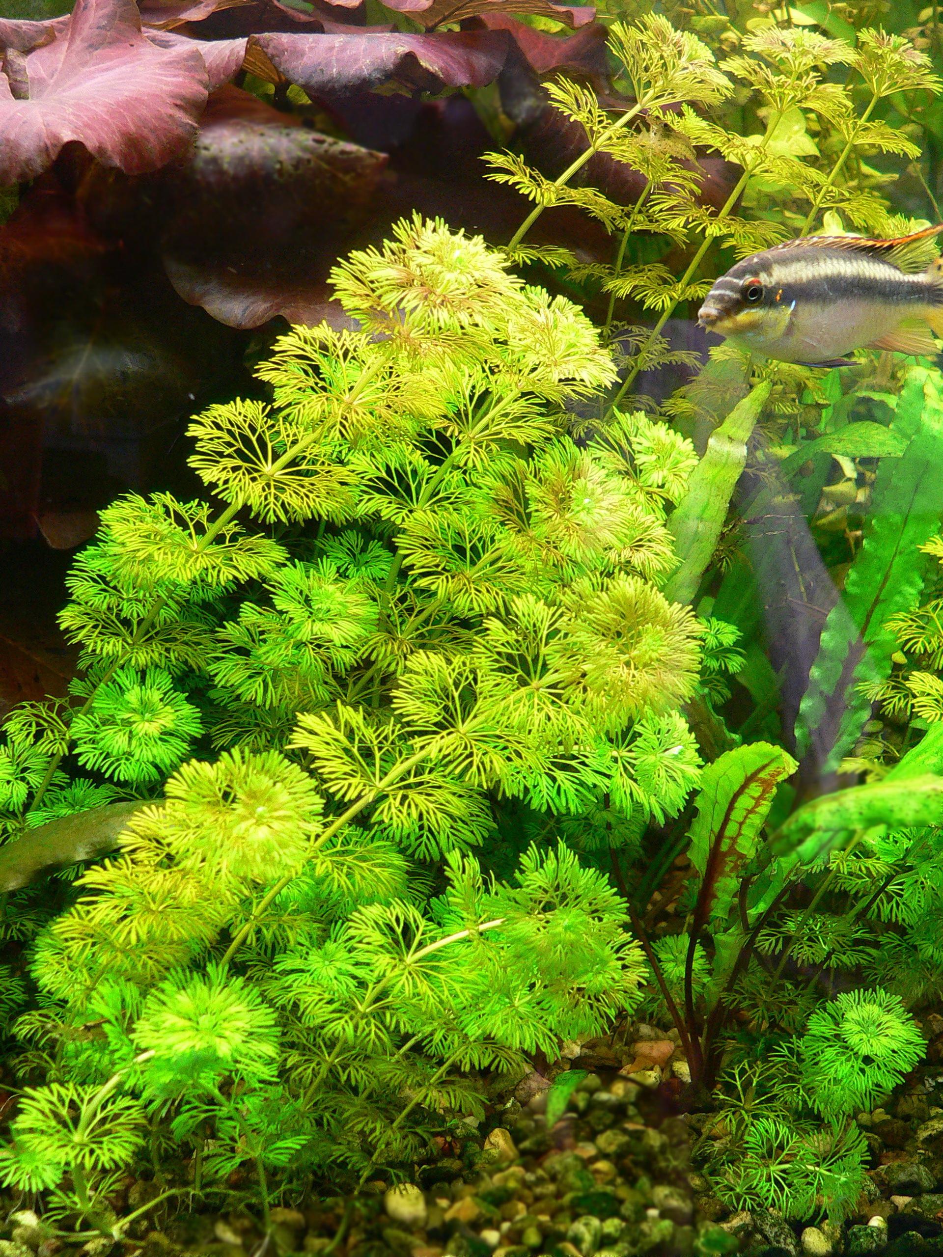Лимонфилла для аквариума