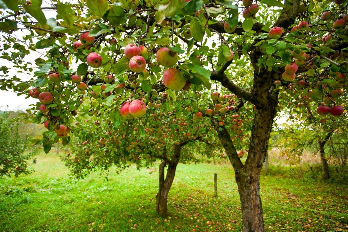 Плодовые деревья для сада