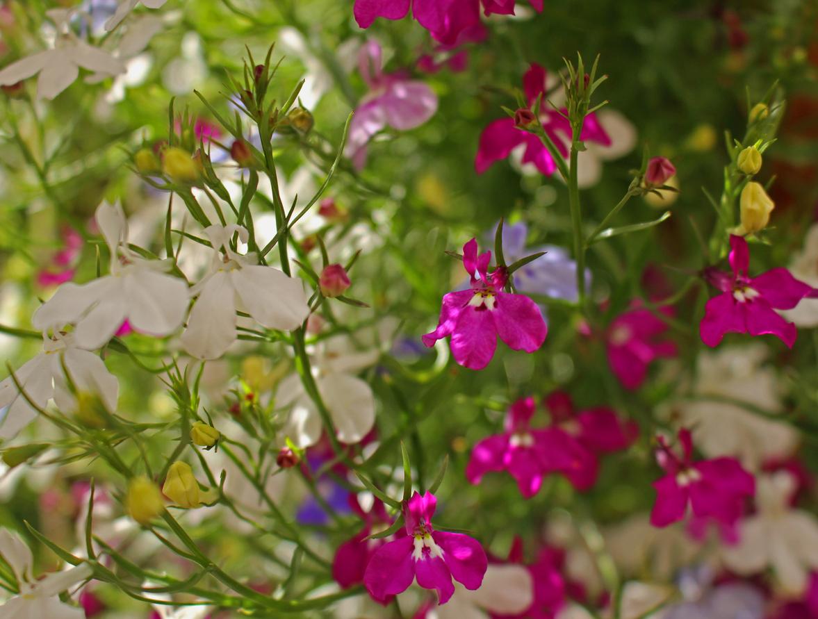 Лобелия пурпурная