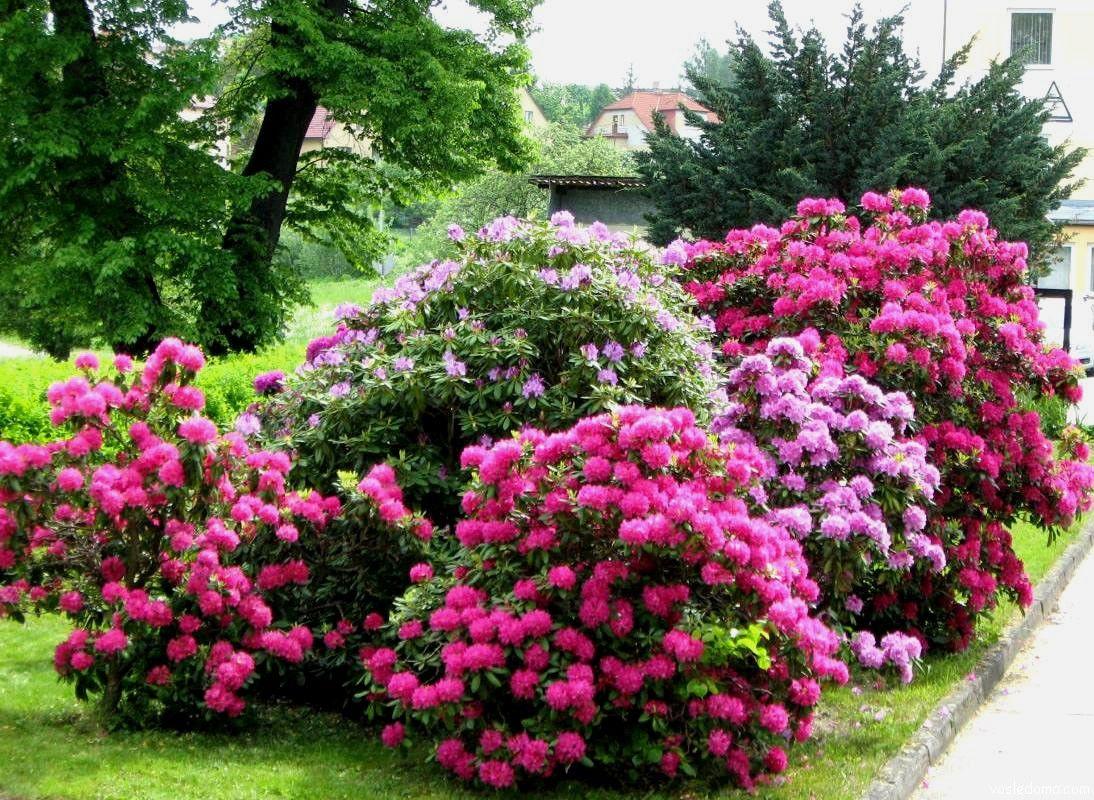 Рододендроны в саду