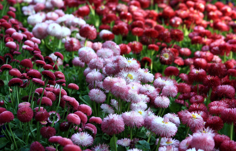 Розовые маргаритки