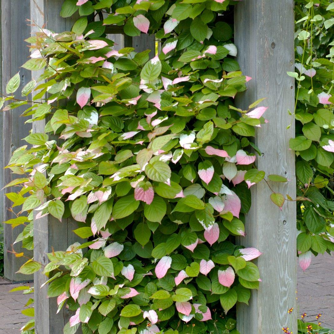 Садовая лиана