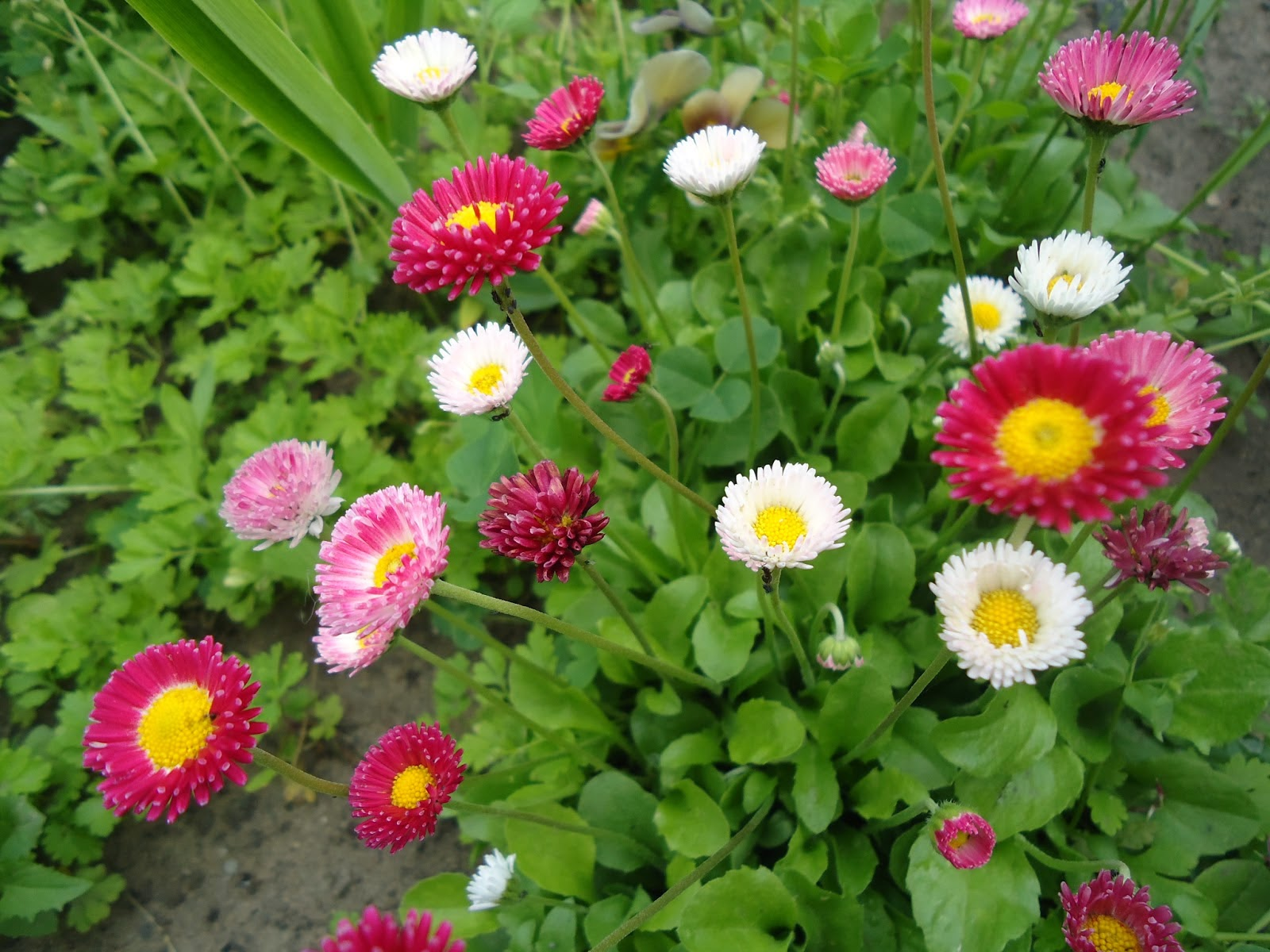 Маргаритки в саду
