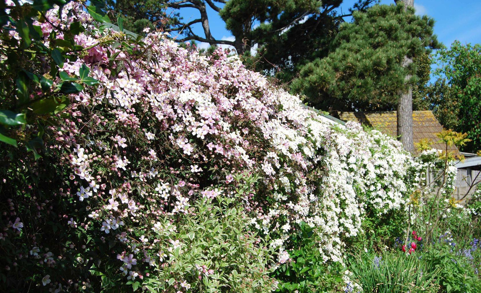 Стена из лианы в саду