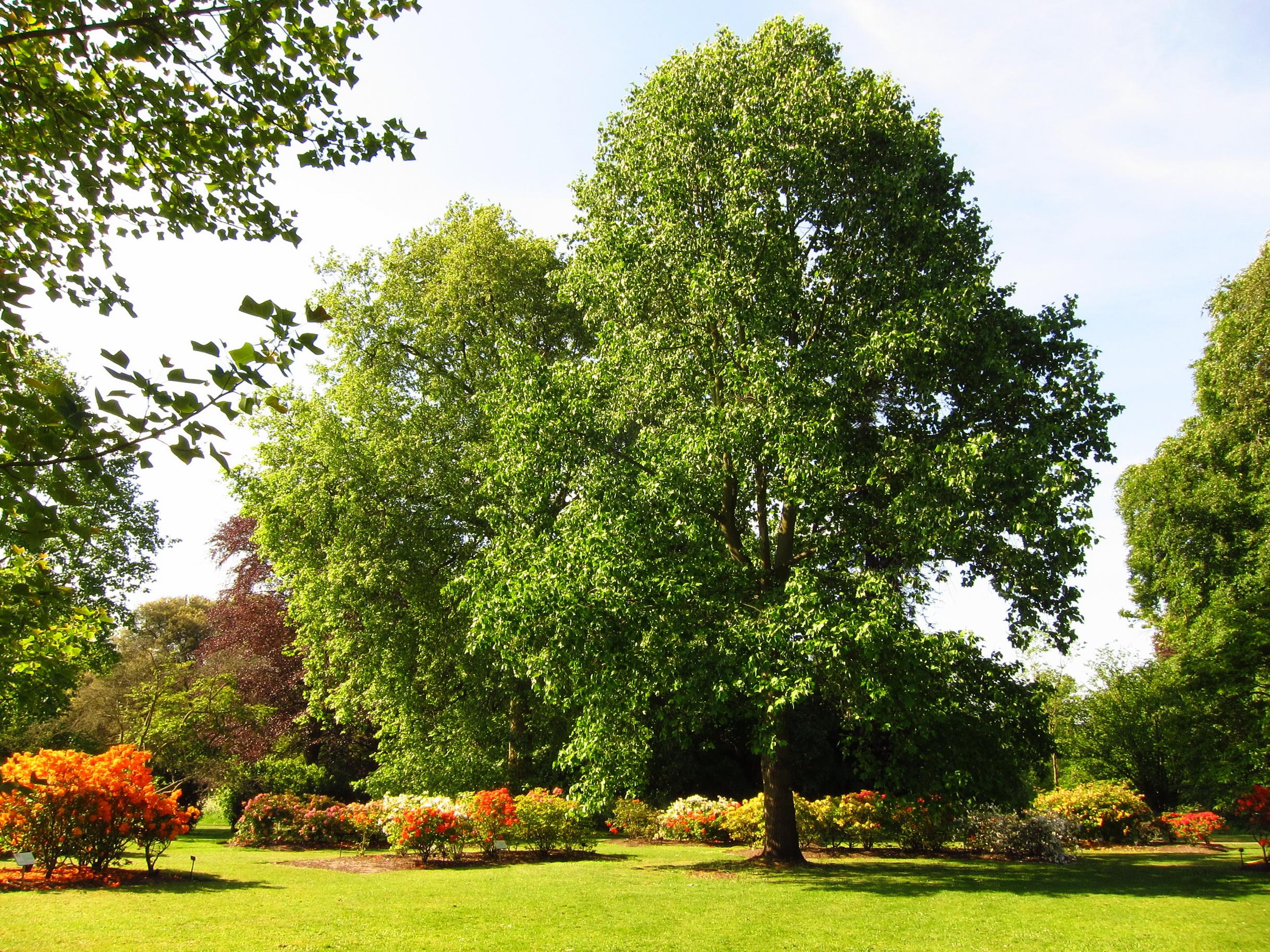 Тополь в саду