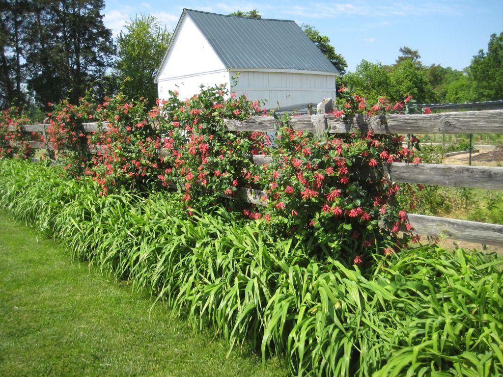 Забор в саду из жимолости