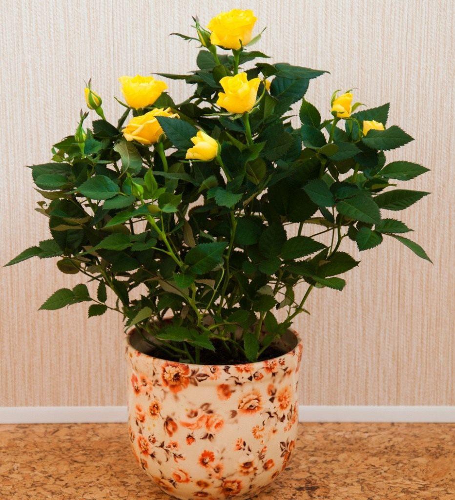 Желтая комнатная роза