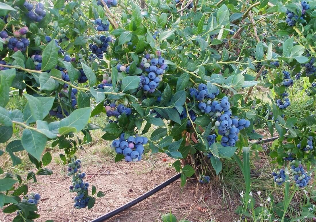 Голубика садовая Айвенго