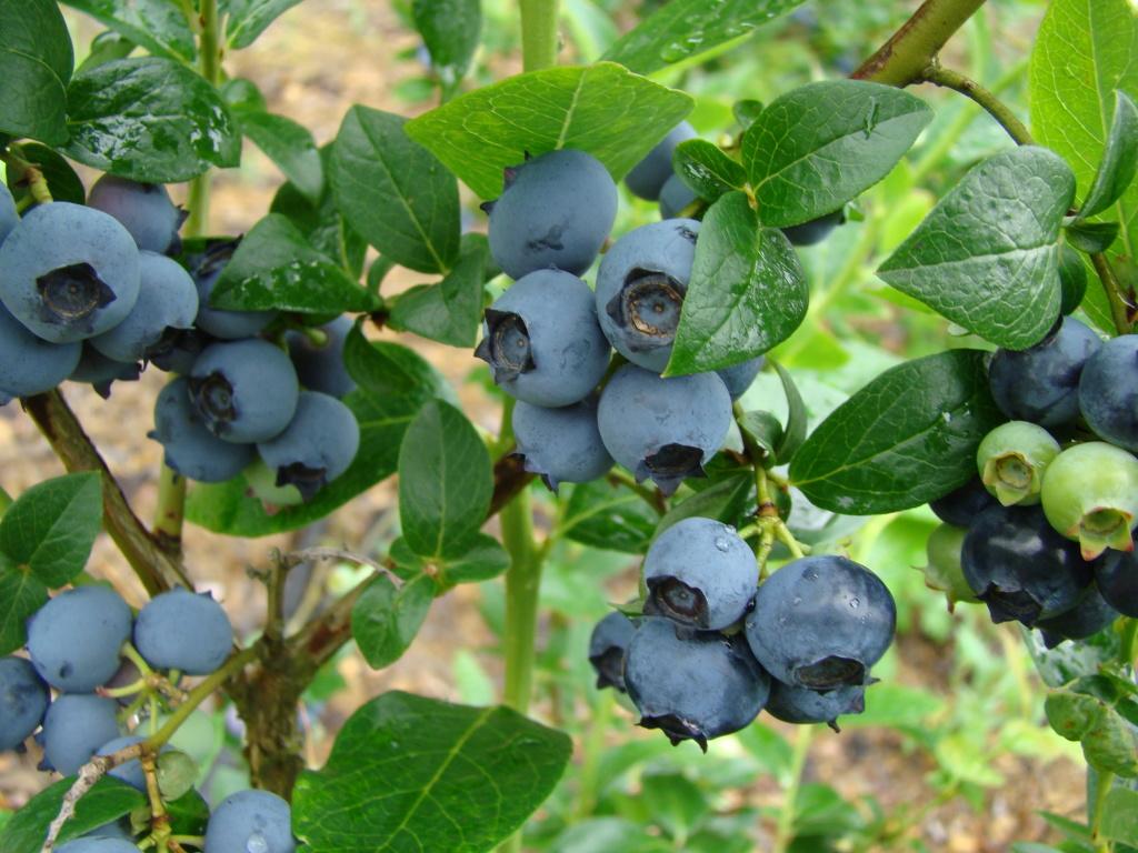Голубика садовая Блюджей