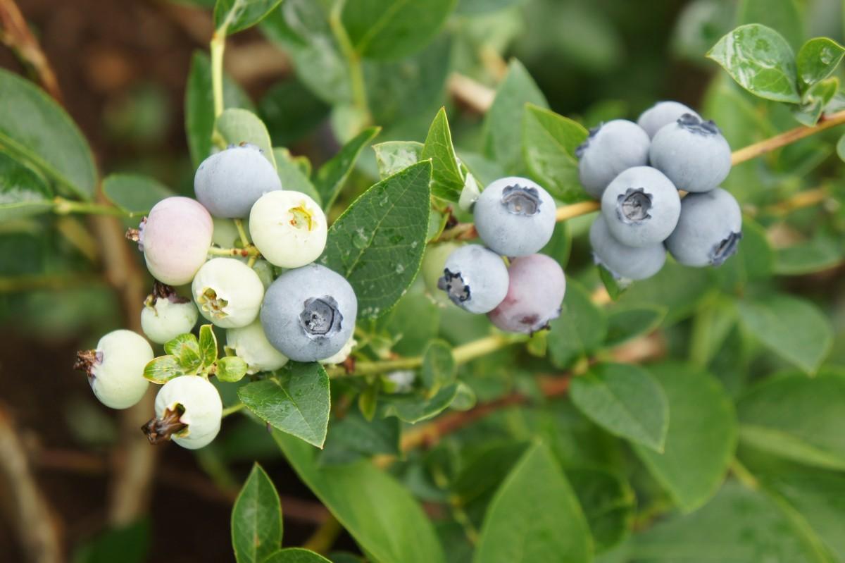 Голубика садовая Блюголд
