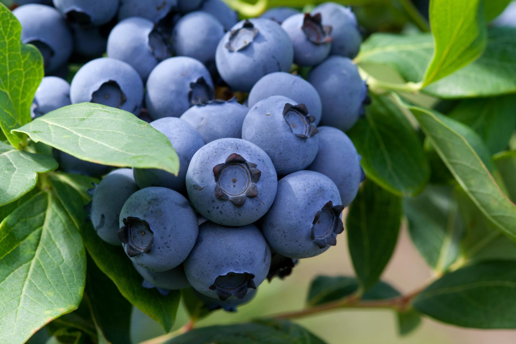 Голубика садовая Блюрей