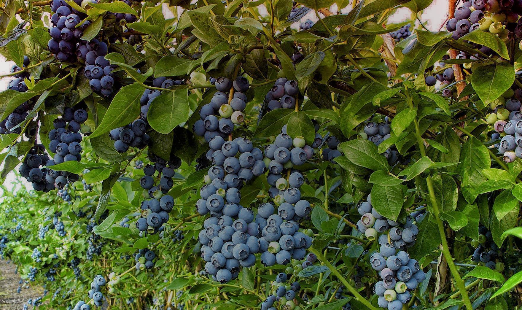 Голубика садовая Бригитта Блю