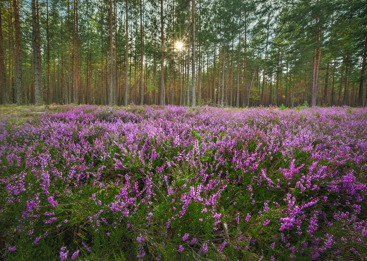 Фиолетовый вереск