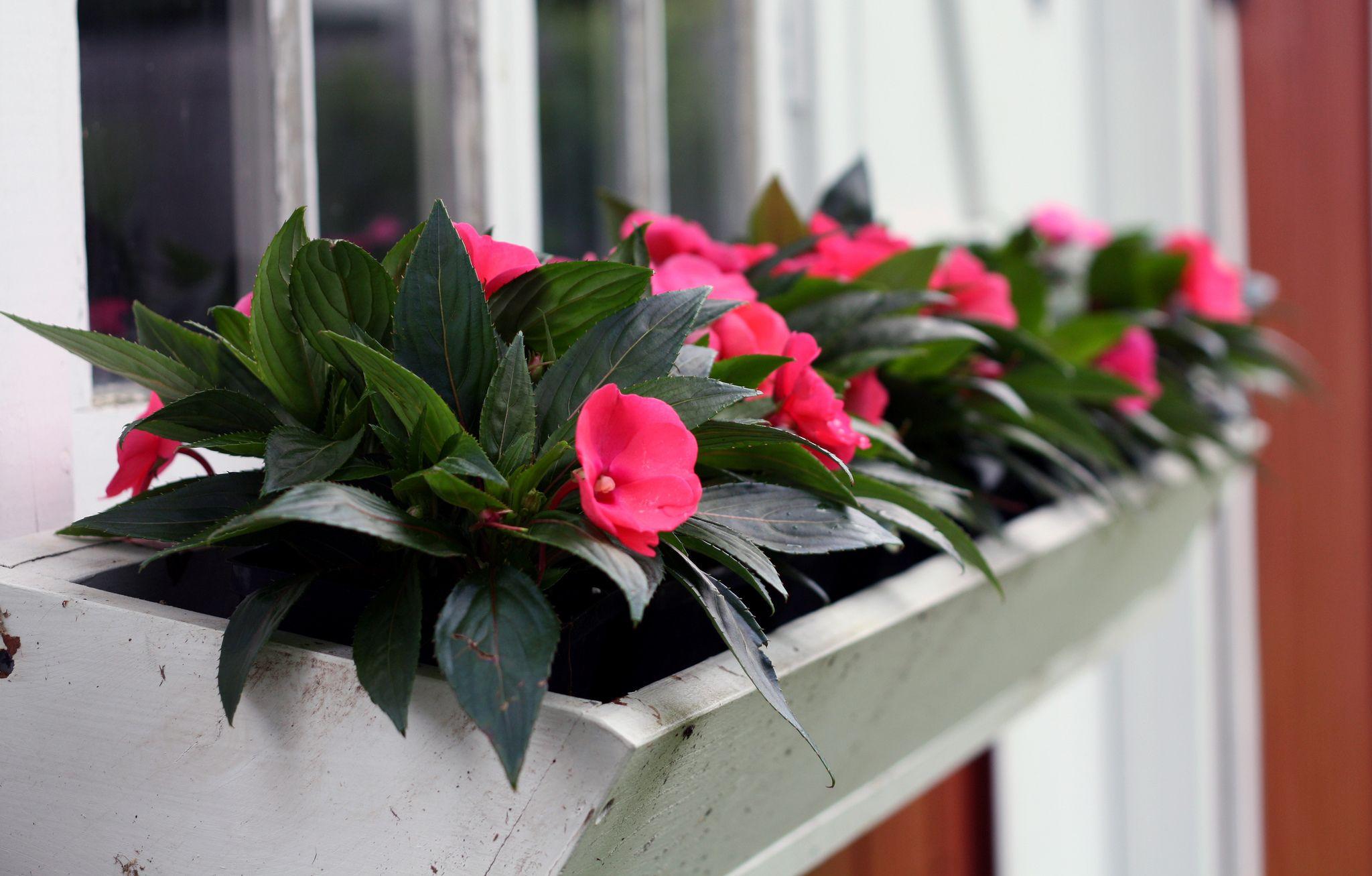 Бальзамин садовый на балконе