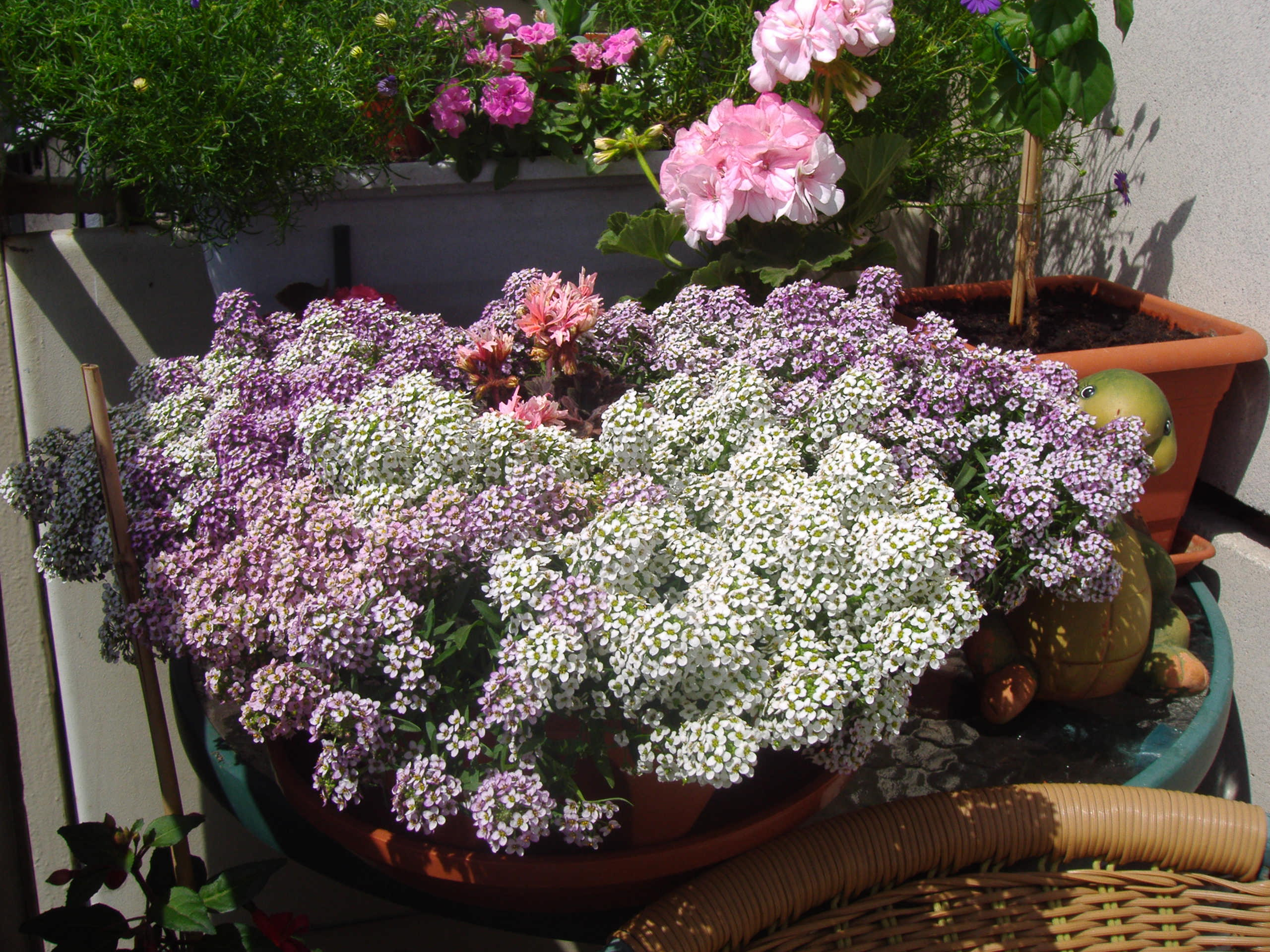 Лобулярия в саду: ароматный «ковер» своими руками (25 фото)