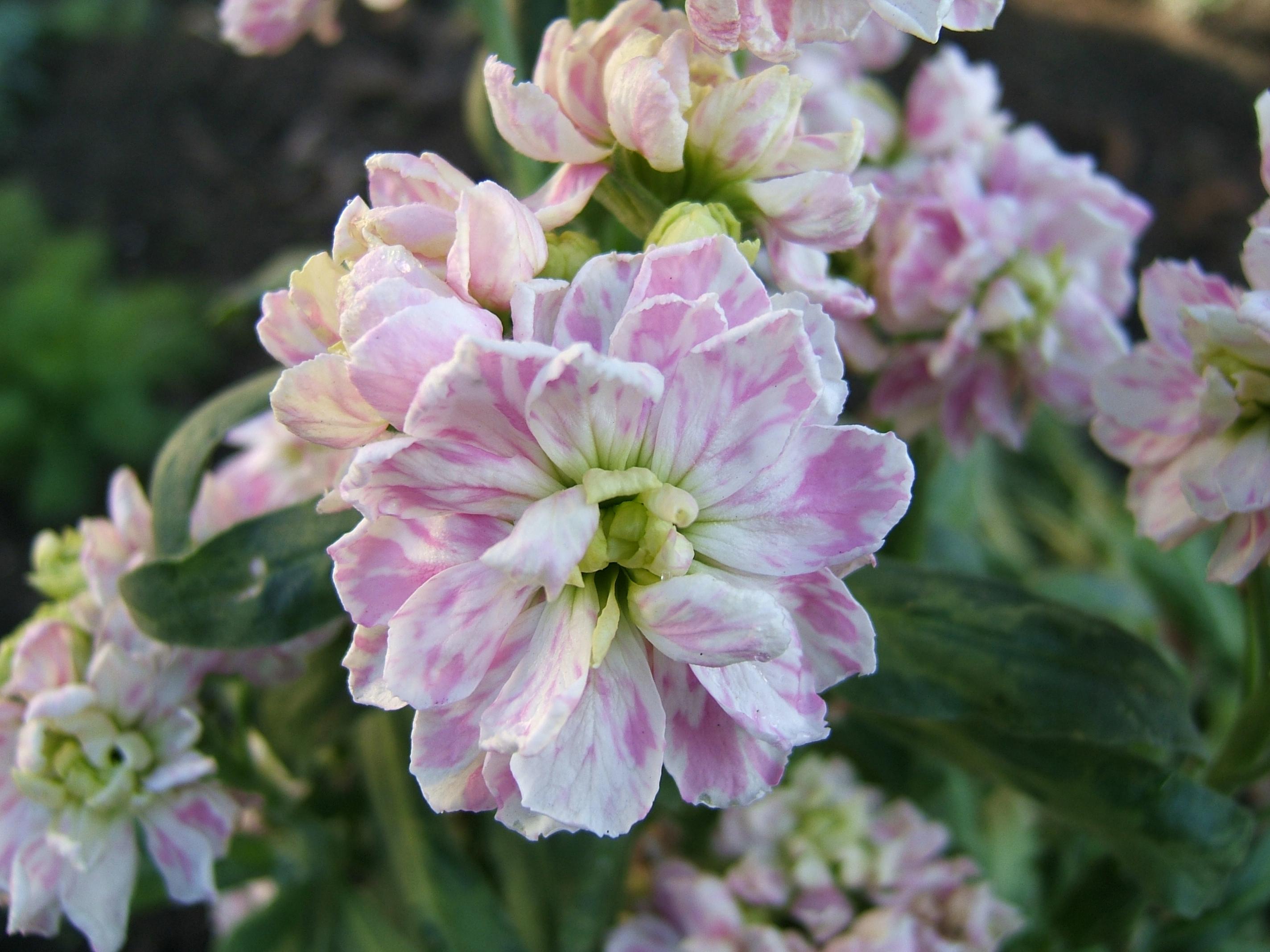 Бело-розовая маттиола