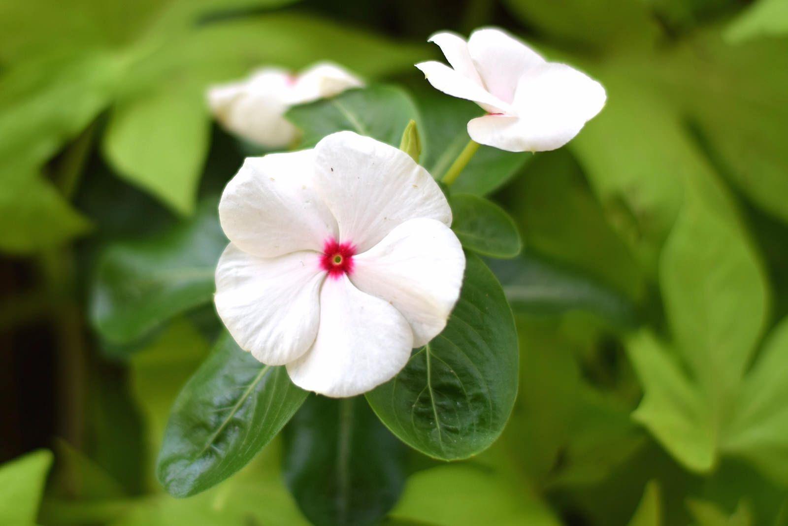 Белый бальзамин садовый