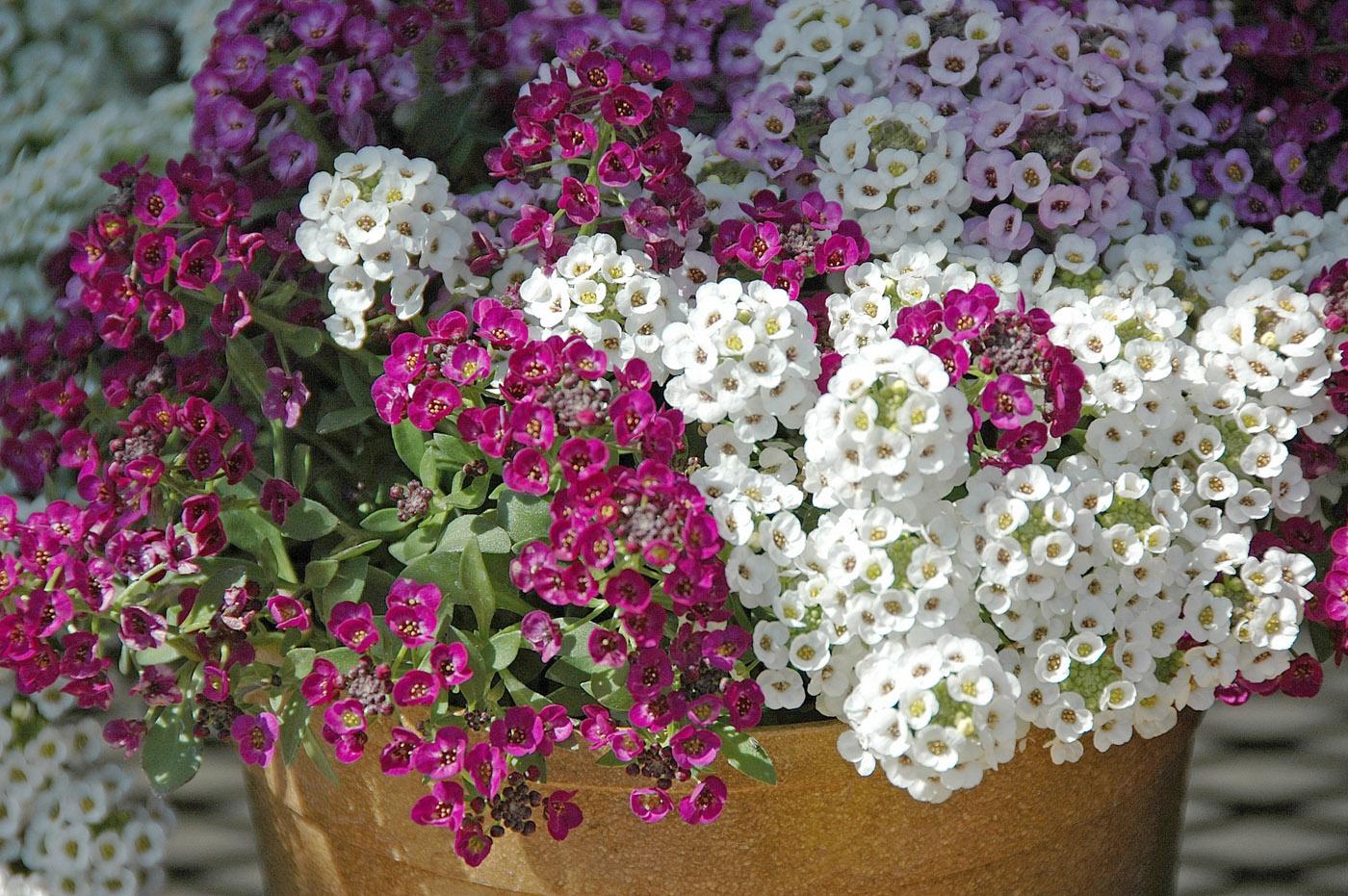Цветение лобулярии