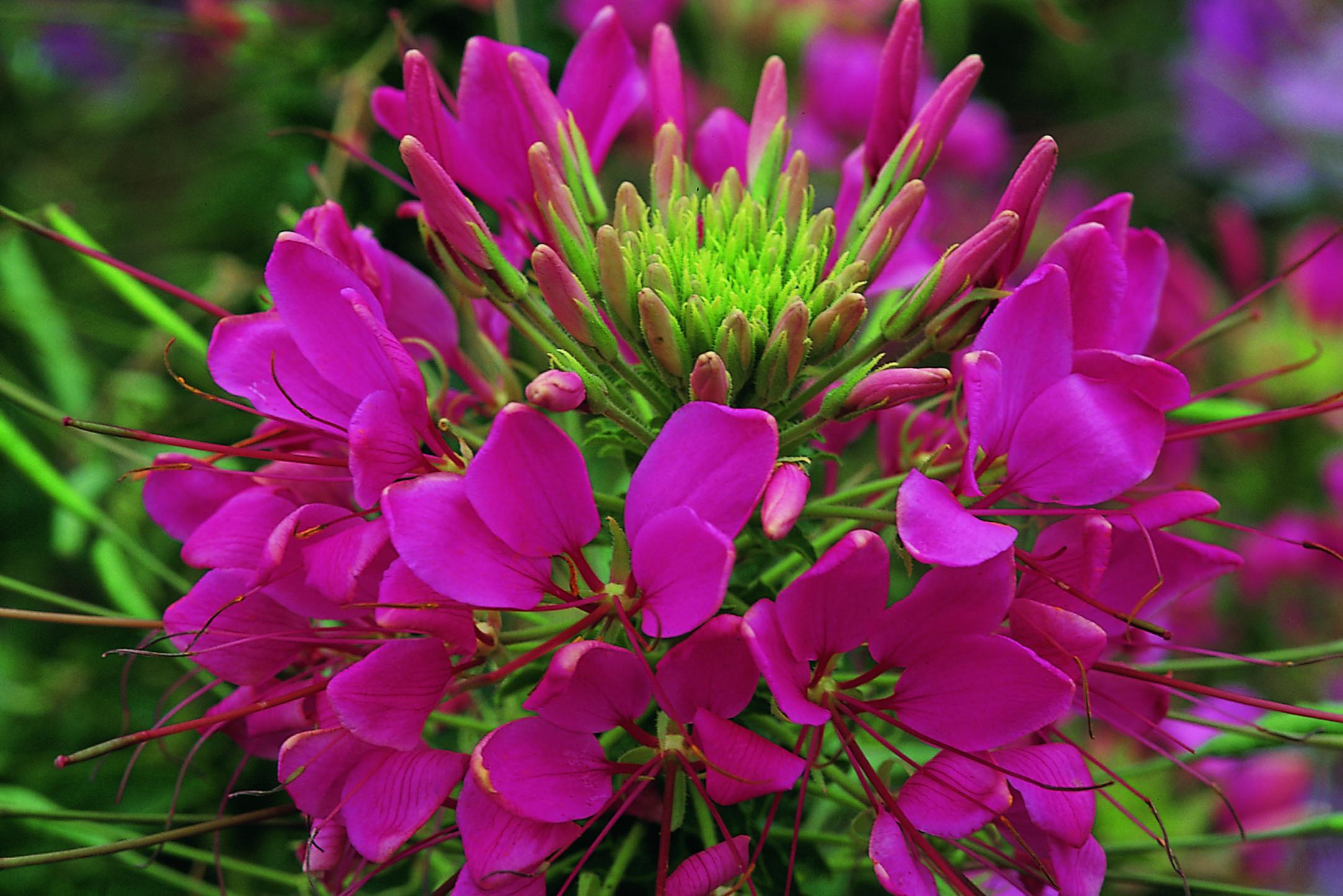 Цветение клеомы