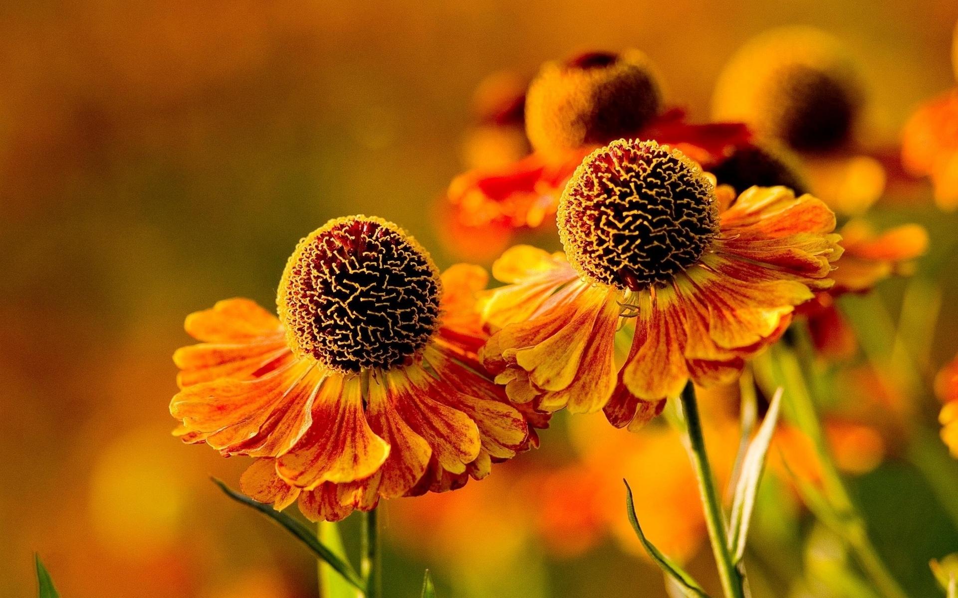 Цветки гелениума