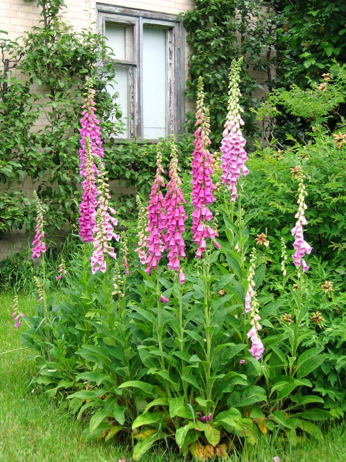 Бузульник многолетний цветок для дачи