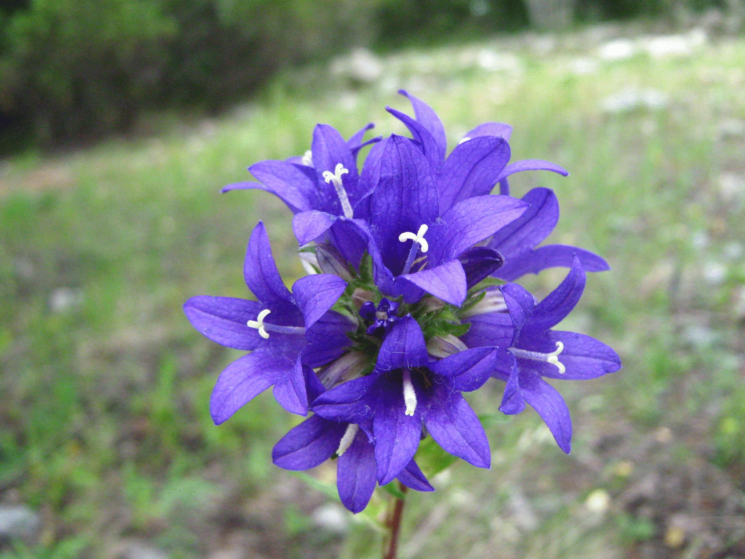 Аконит фиолетовый