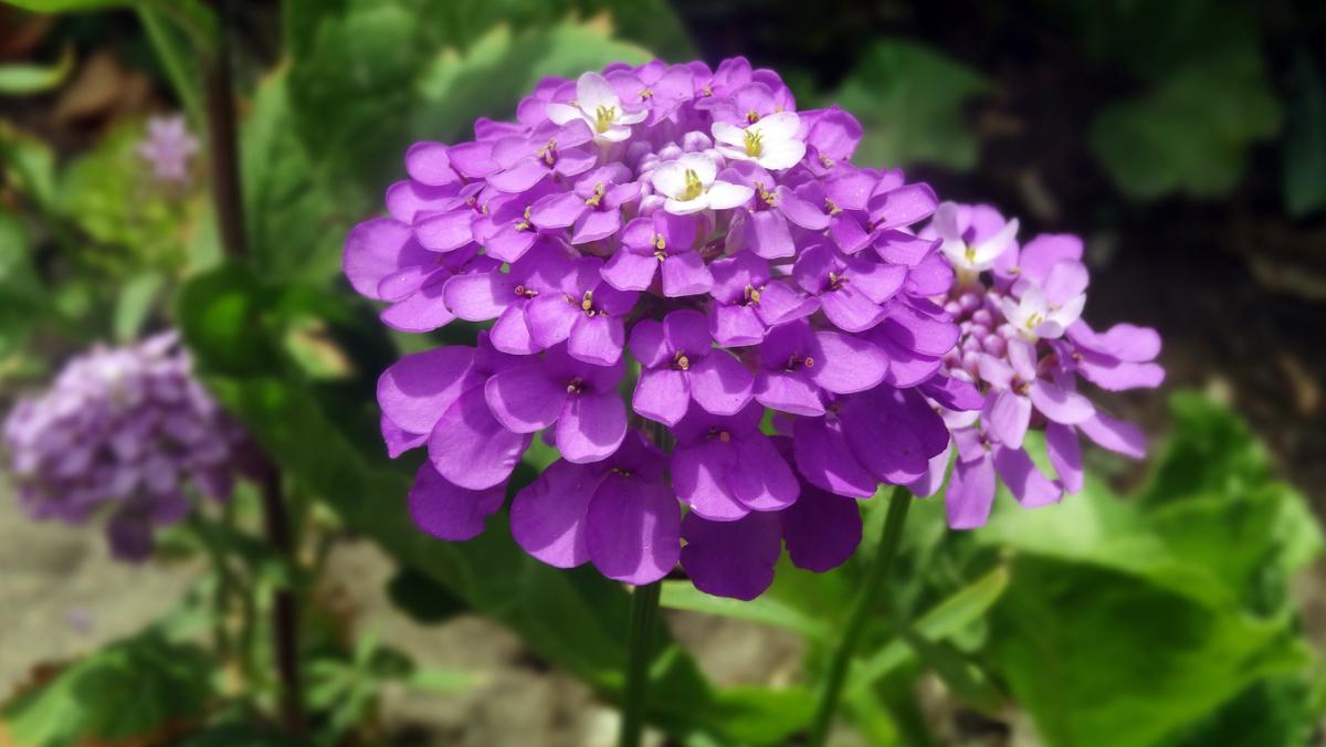 Фиолетовая лобулярия