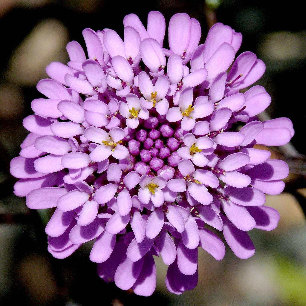 Фиолетовый иберис